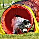 Dixie in tunnel Agility run thrus 12 jul 2013 etc 017